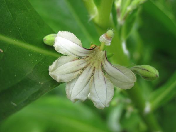 !scaevola-flower