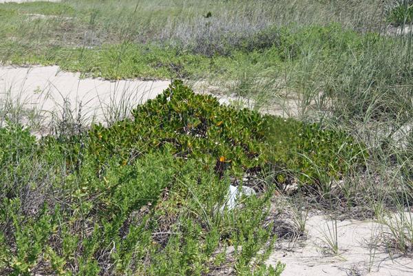 !scaevola-plumeri-on-beach