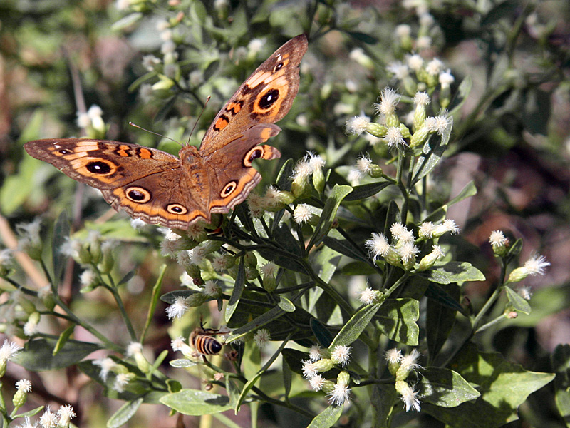 !baccharis-w-pollinators