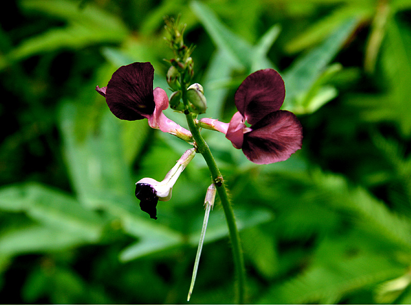 !maacroptilium-flower-clseup