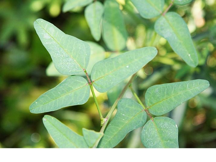 !macroptilium-leaves