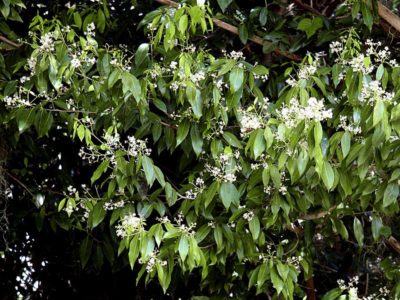 !!ocotea---profuse-flowers