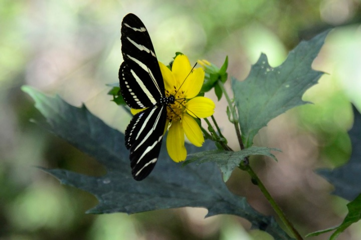 !#2-zebra-longwing-on-hairy-leafcup-by-james-martellotti