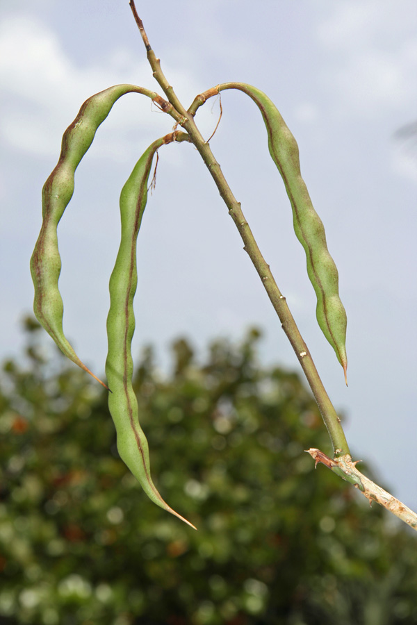 !!-green-erythrina-herbacea-pods