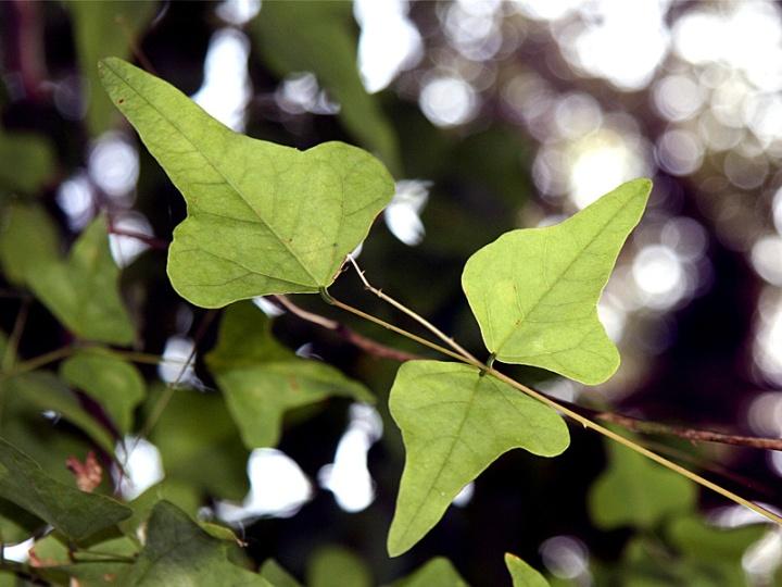 !!leaves-of-erythrina-herbacea