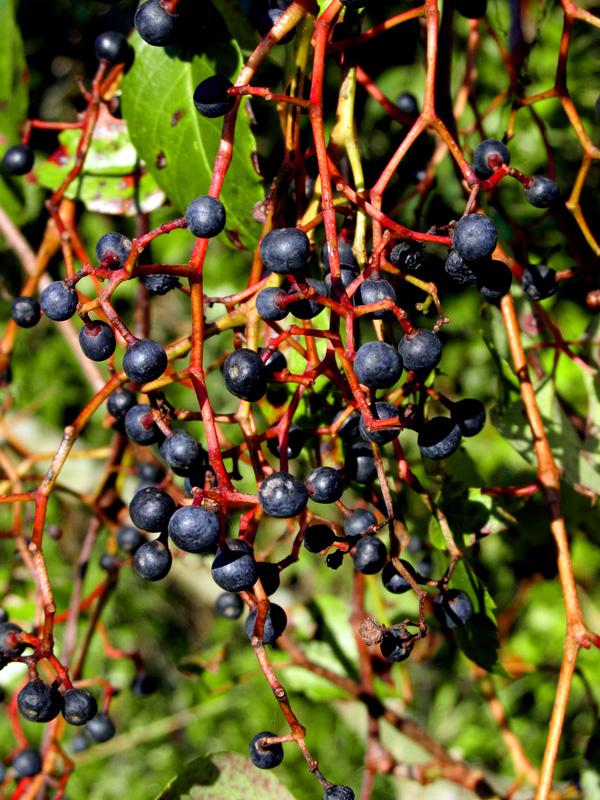!pathenocissus-quiquefolia-fruits