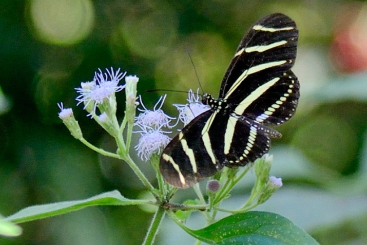 !zebra-longwing---james-martellotti