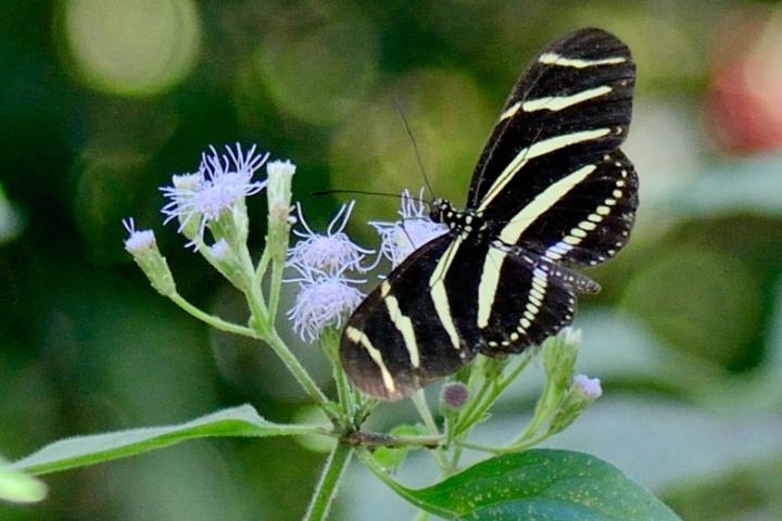 !zebra-longwing---james-martellotti