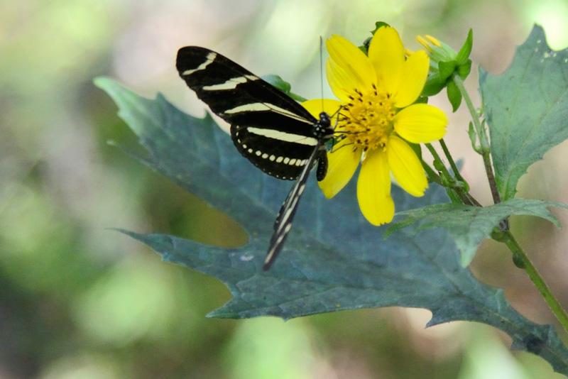 !zebra-lwing-on-leafcup---james-marteollotti