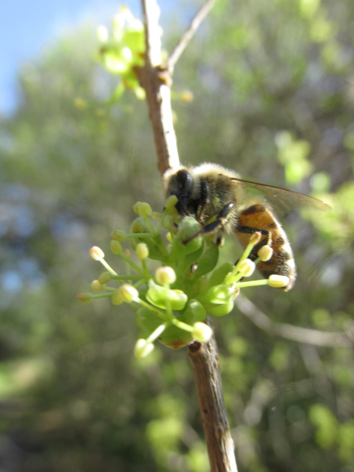 bee on forestiera segregata @v fmel