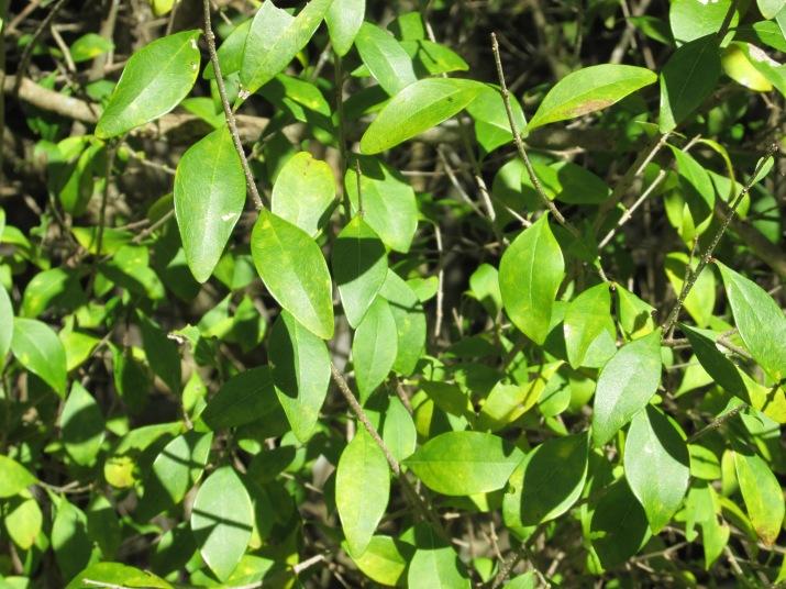 forestiera segregta leaves