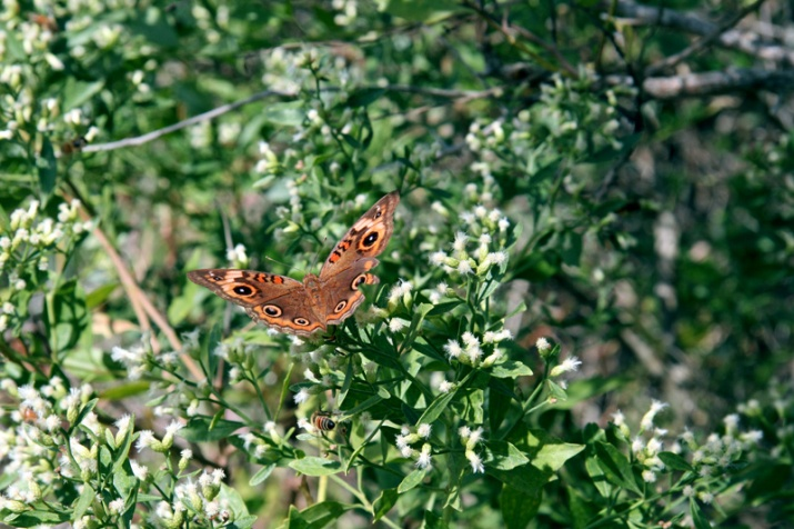 !baccharis-haliimifolia-w-mangrove-buckeye-&-bee