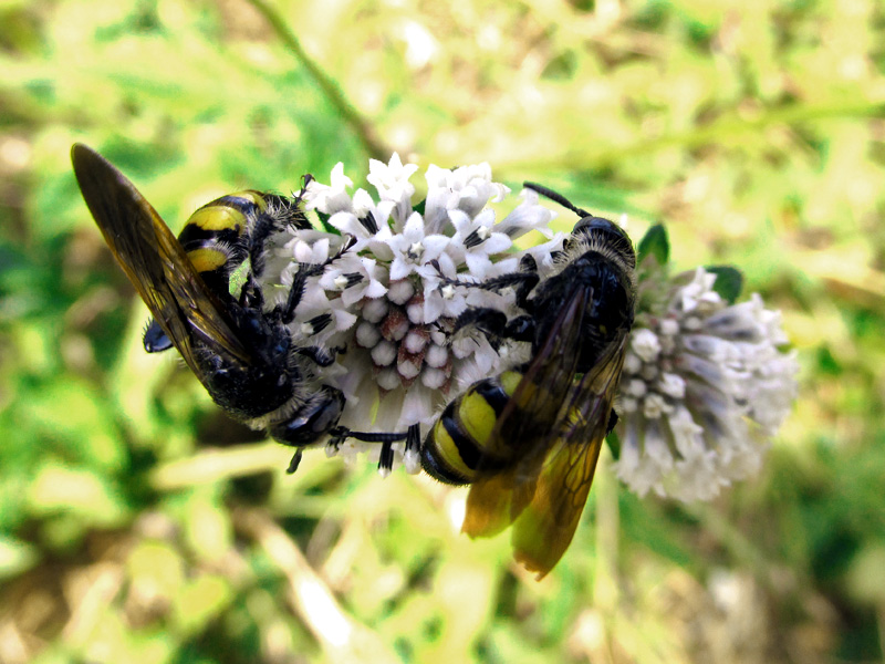 bees-on-melanthera-nivea