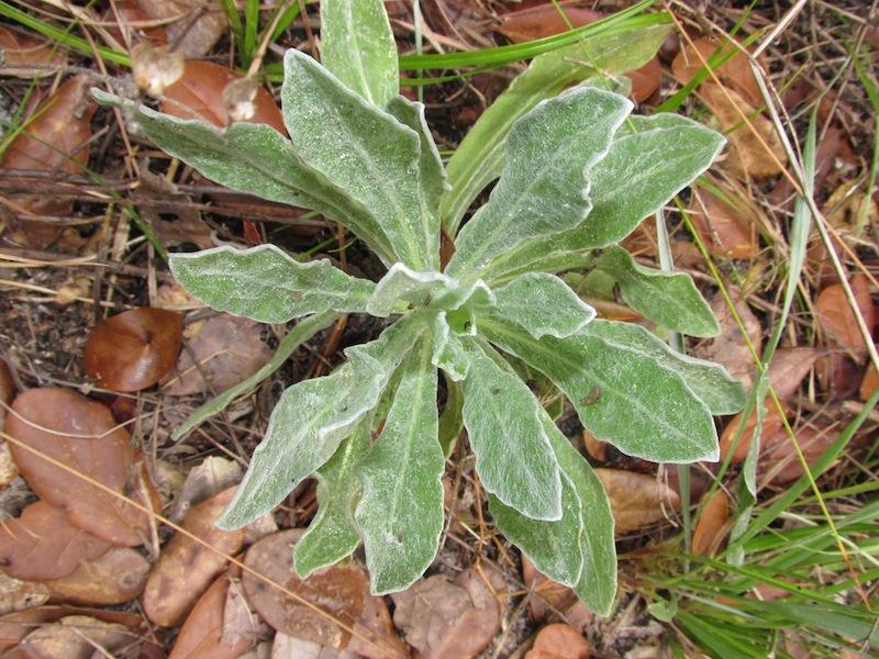 lupinus diffusus 2 seedling copy