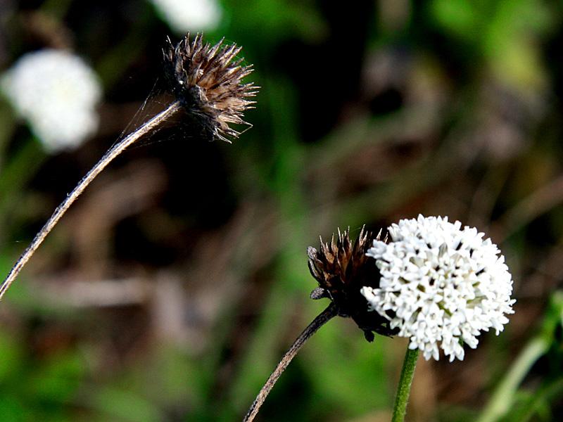 !melanthera-nivea-seed-head