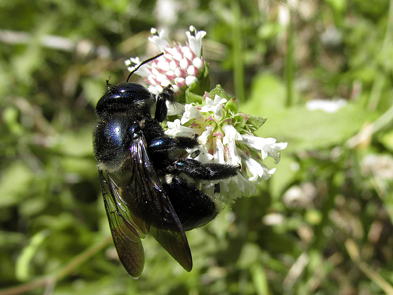melanthera-nivea-w-carpenter-bee