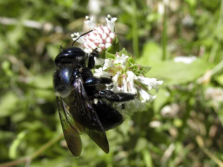 melanthera-nivea-w-carpenter-bee