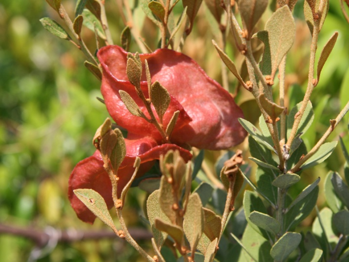 exobasidium-on-lyonia-fruticosa