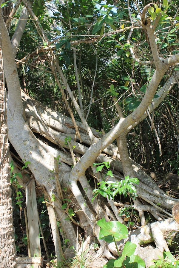 ficus aureum roots copy