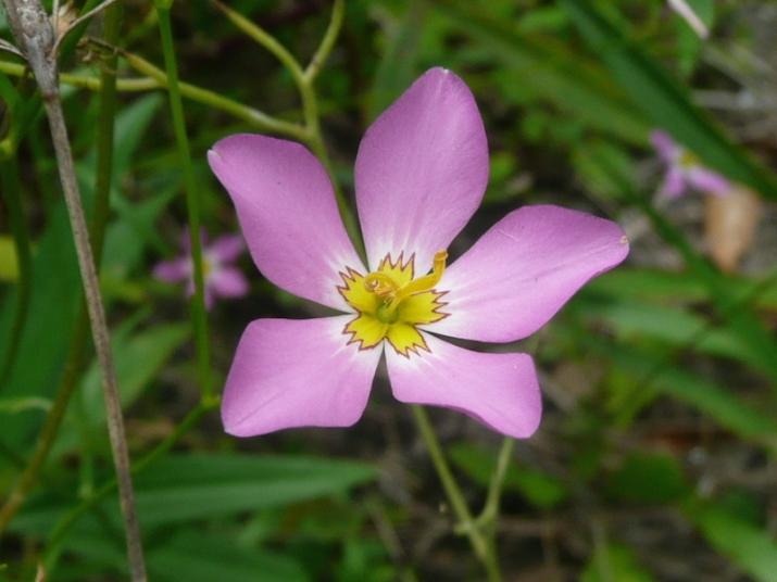 Sabatia - Rosegentian/Marsh Pink