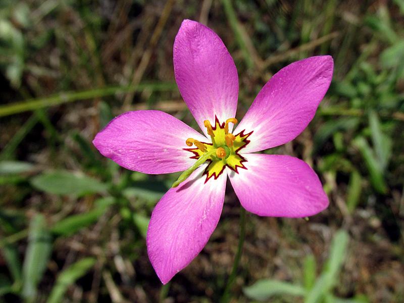 !sabatia-grandiflora-closeup