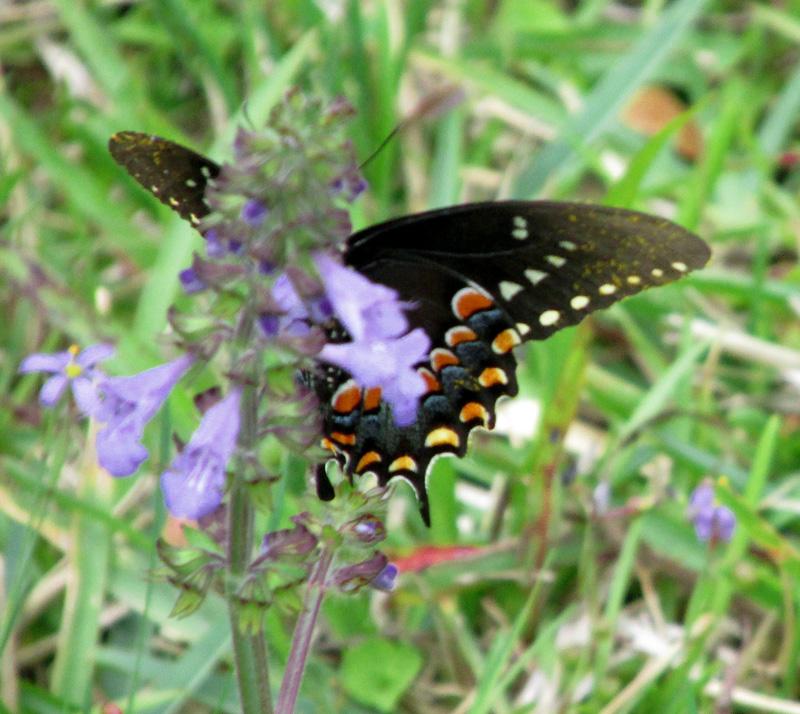 !salvia-lyrata-w-swallowtail-butterfly