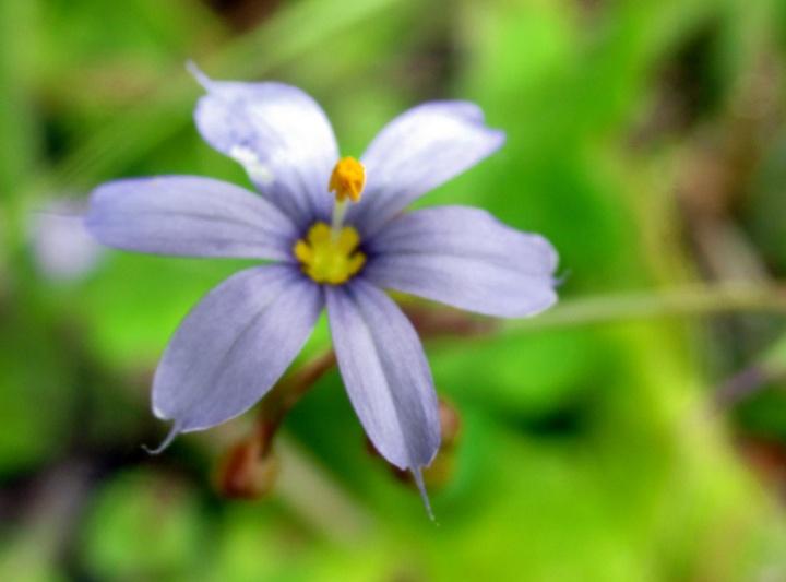 !sisyrinchium-atlanticum