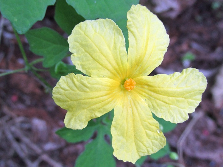 !momordica-chrantia-flower-closeup