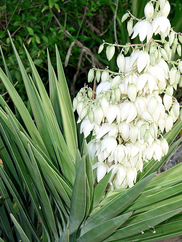 !yucca-aloifoia-leaves-&-flowers-close-up