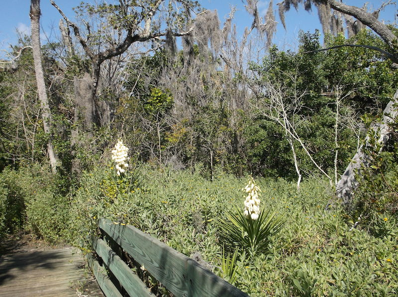 !yucca aloifolia1 copy