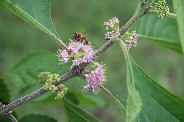 !!bee-on-callicarpa-americana