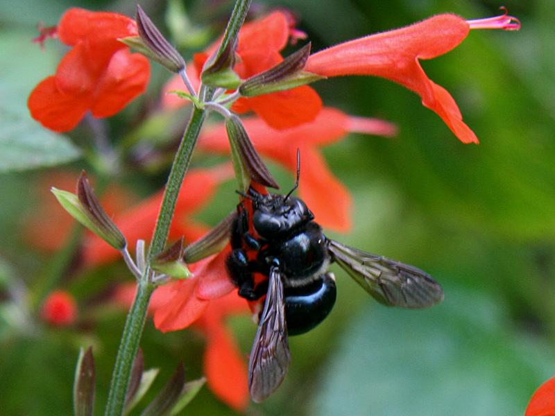 !!bee-on-salvia-coccineus