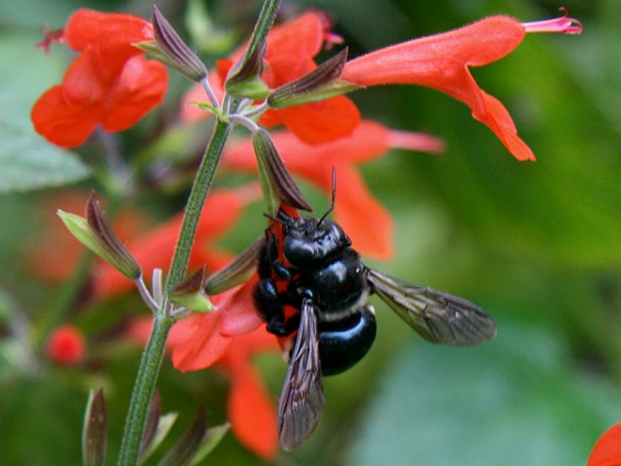 !!bee-on-salvia-coccineus