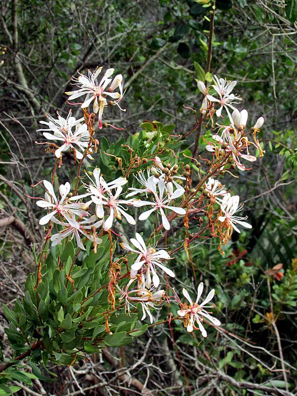 !BEJARA-MULTIPLE-FLOWERS---vertical