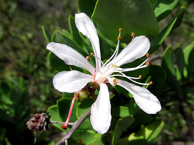 !bejara-racemosa-flower