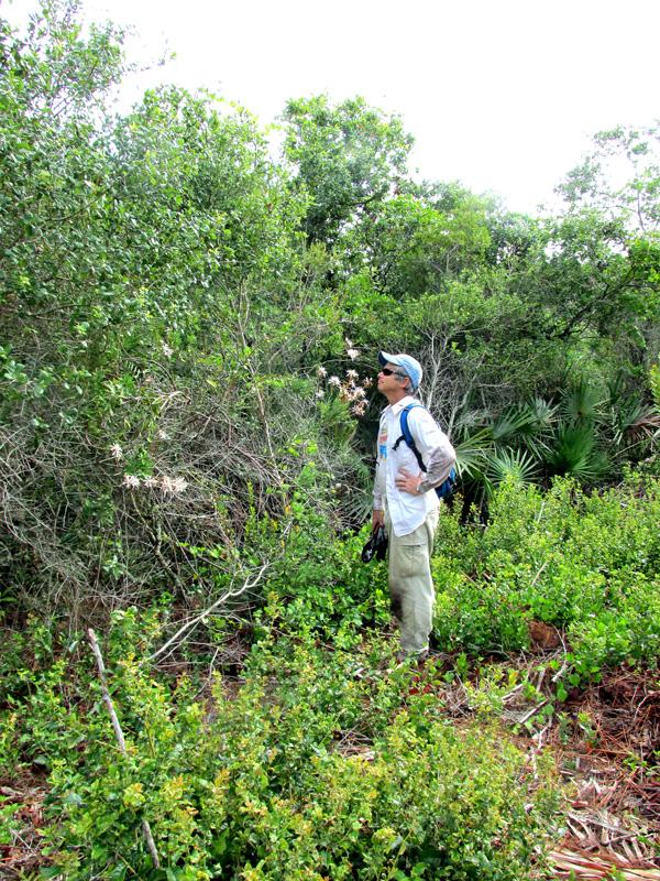 !bejaraia-racemosa---steve-goff-smeelin