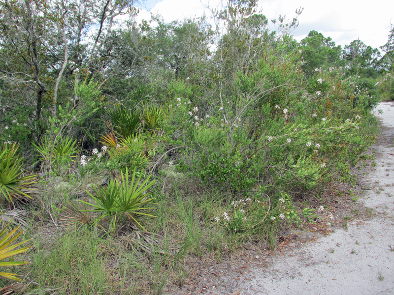 !bejaria-racemosa-along-trail-@-abrs