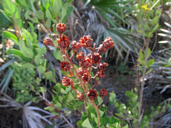 !bejaria-racemosa-seed-capsule