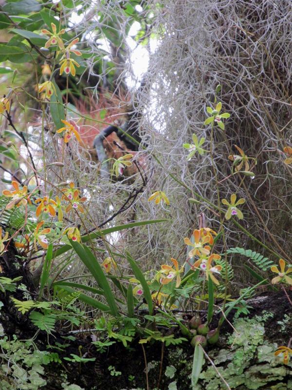 !enclyclia-tampoensis-at-sorca---vertical