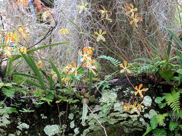 !encylcia-tampoensis-&-other-epiphytes