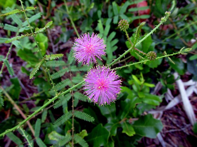 !mimosa-quadrivalvis-flowers