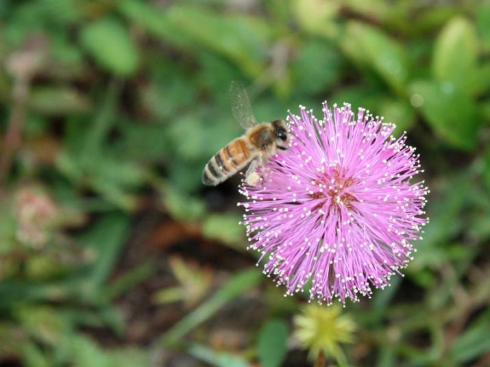 !mimosa-strogilosa-w-bee