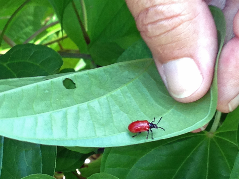 !air-potato-beetle-w-kens-hand
