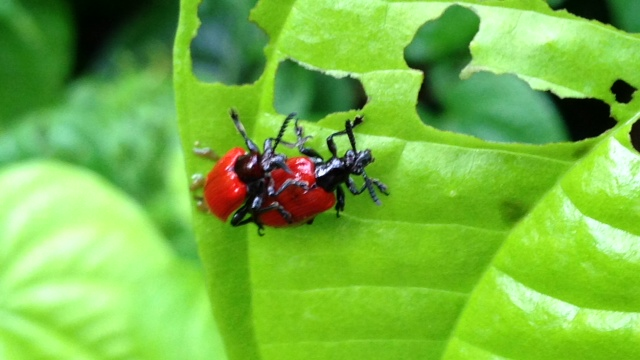 air potato beetles breeding