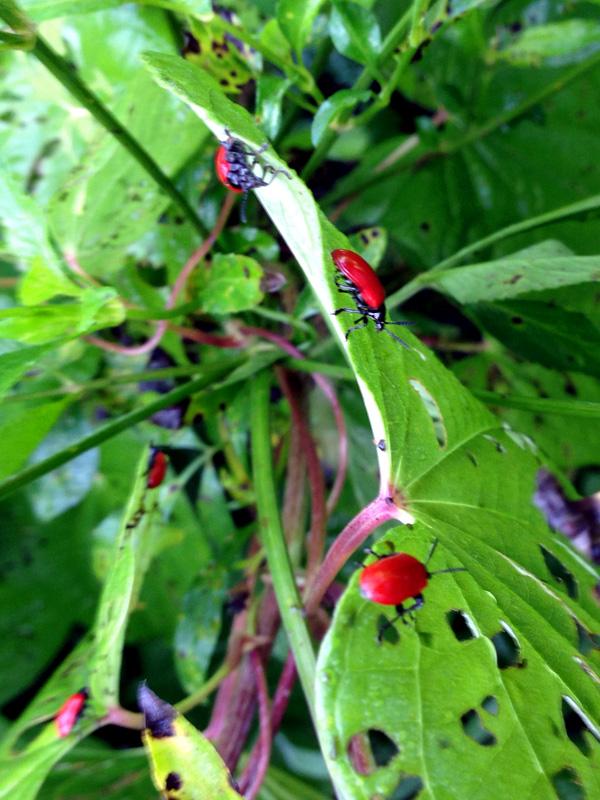 !air-ptoato-beetles