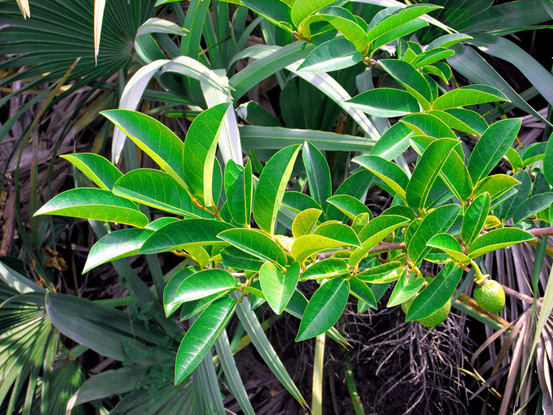 !annona-glabra-leaves