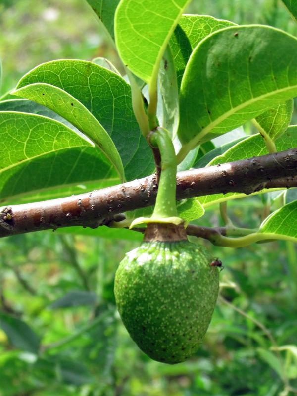 !annona-glabra-stem-w-fruit