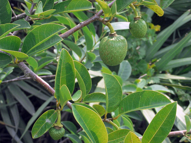 !annona-glabra-w-varied-sized-fruits