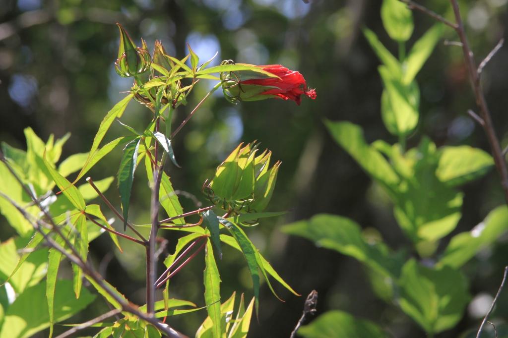 Hibiscus coccineous by Karen Schuster