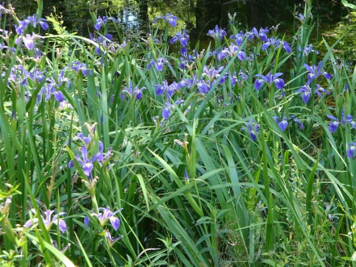 iris hexagona from carol copy